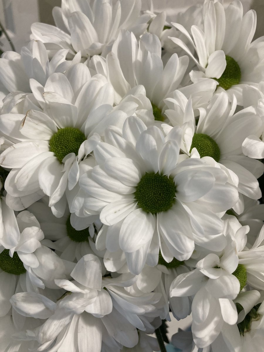 Beautiful white Chrysanthemums ready to be delivered to our young people tomorrow. We'll be using them in an experiment during tomorrow's Zoom meeting - can you guess what we'll be doing? 👩🔬👨🔬 #SkillsForLife #beavers #cubs @slamscouts #flowers #experiment