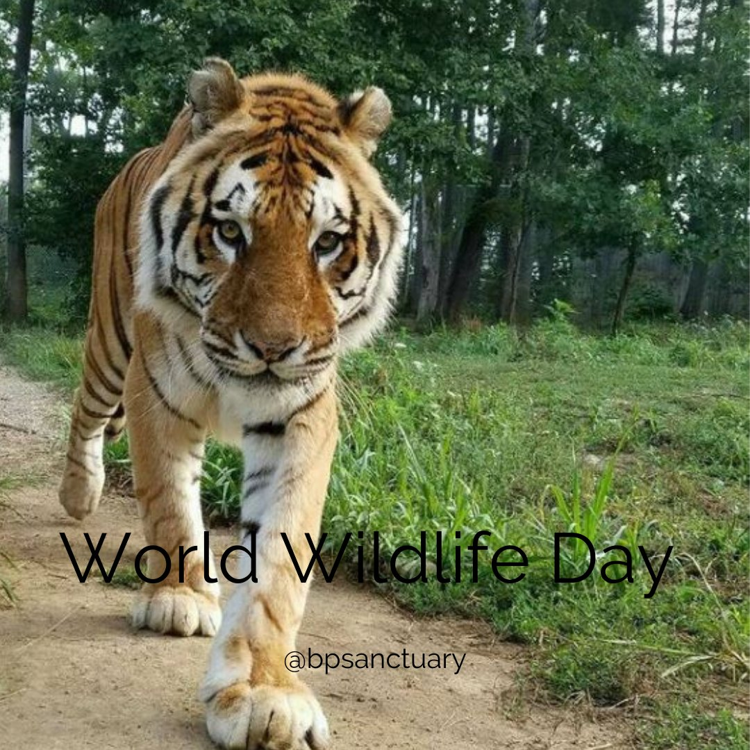 Noble County is home to Black Pine Animal Sanctuary which cares for wild and exotic animals like this guy! 🐯🐵Check it out here:   #worldwildlifeday #visitnoble #blackpineanimalsanctuary #noblecountyindiana #visiteasternindiana #exoticanimals #familyfun