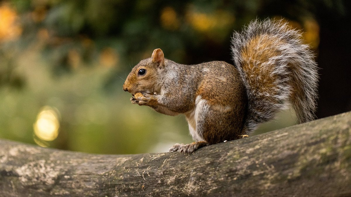 #DYK that one squirrel can collect over 300 acorns per season? Over 2,000 of these cute Park residents begin their winter prep in the fall, collecting acorns and burying them to stockpile for the cold months ahead.  #WorldWildlifeDay