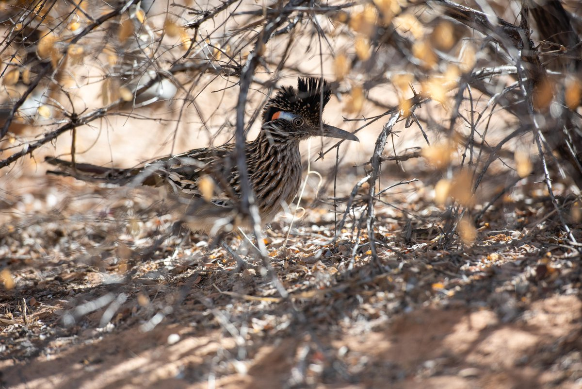 Happy #WorldWildlifeDay! 🦅 This Greater Roadrunner came to our Wild Friends rehabilitation facility after getting hit by a car — an unfortunately common occurrence. He will be released in early spring when food sources are plentiful, and we're confident he'll do just fine! ^BV
