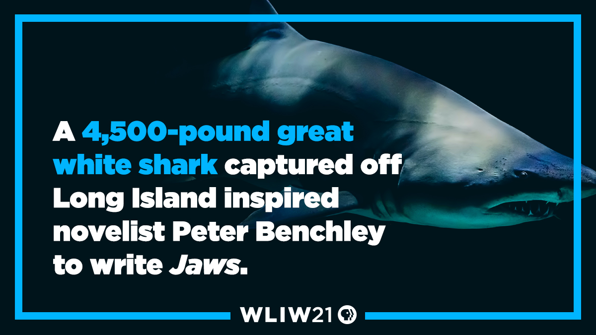 A 4,500-pound great white shark captured off Long Island inspired novelist Peter Benchley to write Jaws.  #Jaws  #LongIsland