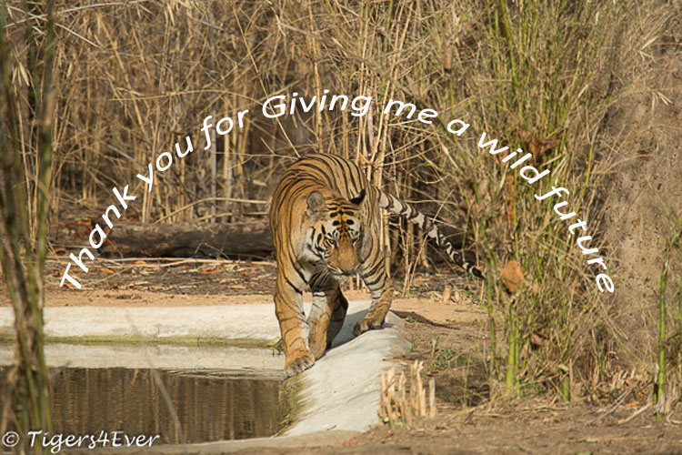 Thank you to the anonymous donor whose kind donation will help us to do essential repairs at our wildlife waterholes & help us to keep wild #Tigers away from human-animal conflict. #WorldWildlifeDay