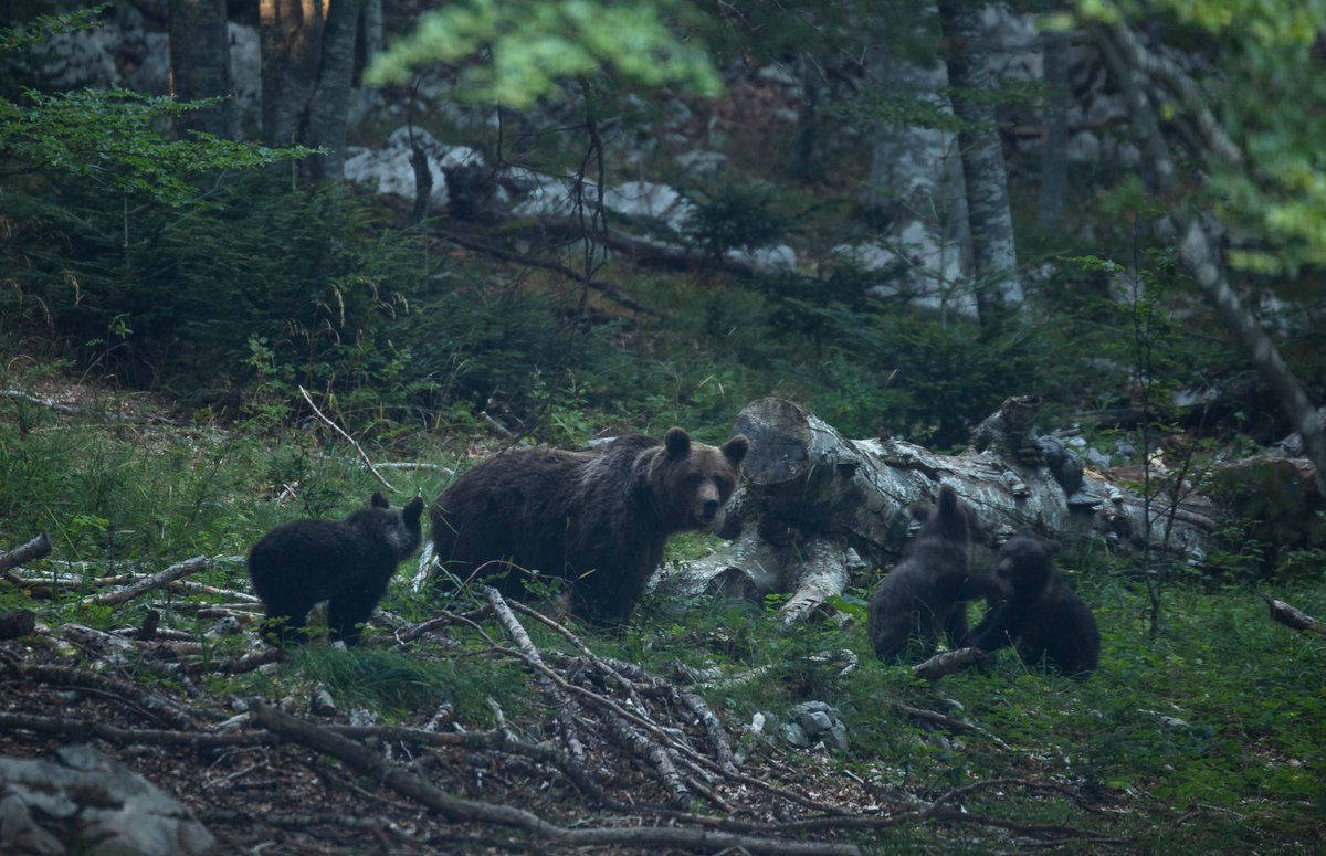 What a wild Mediterranean Europe looks like.   This #WorldWildlifeDay, learn why everyone should be celebrating what's going on in Croatia's Velebit Mountains:  @RewildingEurope