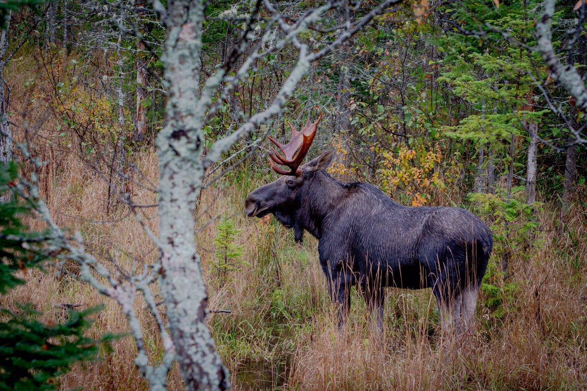 I took this photo in Algonquin Park last October. #WorldWildlifeDay #moose #WildlifeWednesday #wildlife #wildlifephotography #wildlifelovers #NaturePhotography #ontarioparks #sharecangeo