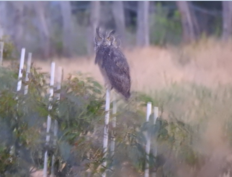 I spent several nights waiting for this great horned owl to show up, and every single time  it either rained or was fog so thick I couldn´t see a thing. Finally I managed to take these pics of it. They're awful, but they're mine. :B  #bubovirginianus #WorldWildlifeDay