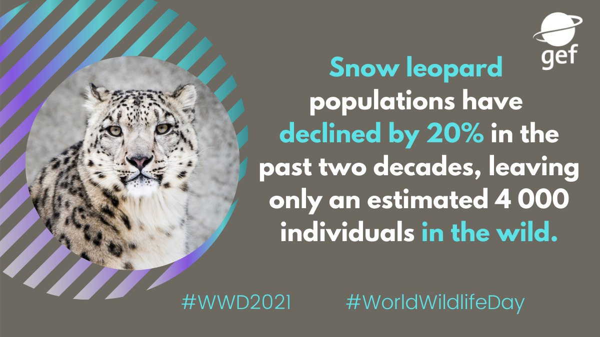 On #WorldWildlifeDay, read about the #Pakistan Snow Leopard and Ecosystem Protection Program, a @theGEF funded project that promotes a landscape approach for the survival of snow leopards.  👉
