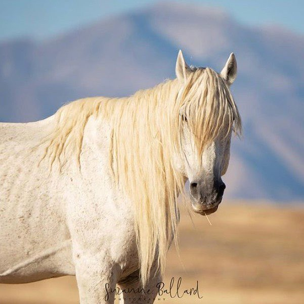 @Soulhorses I'm mad because now this precious boy is under threat from @BLMUtah He is one of the oldest and most beloved wild horses in the West and BLM is going to take half of his herd in July. He could be gone too. They are stealing him from the American public #wildhorses #mondaythoughts
