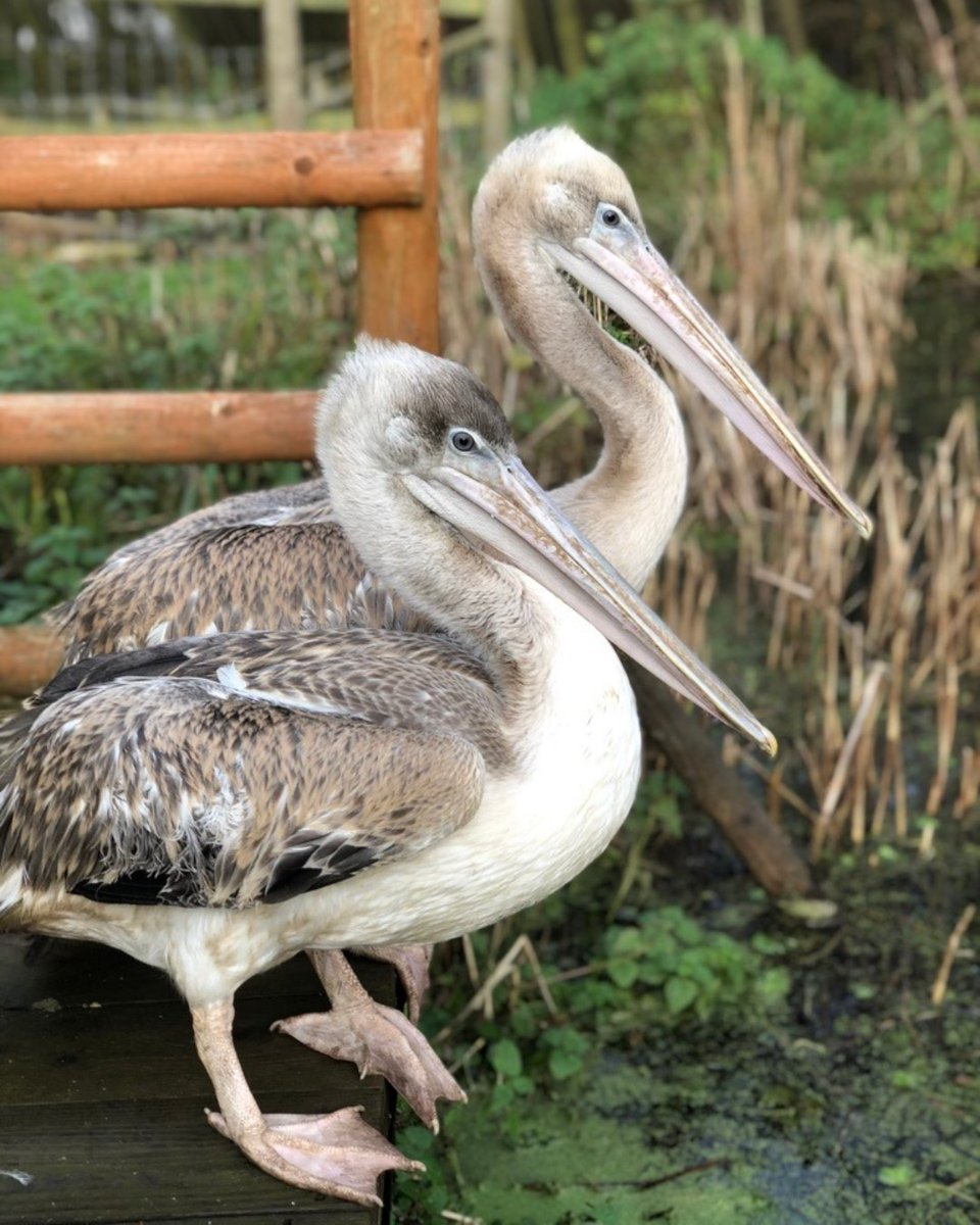 An oldie of Peli-can & Peli-can't, our Pink-backed pelicans! Not the animal most people visit us to see, but we think they're fantastic. 🤩 #pelicans