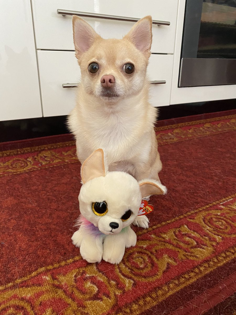I would like to introduce you to my new #beanieboo his name is Chewey and he is a Chihuahua!!! Don't we look alike!!!  🐾 #tinkerbellthepomchi #pomchi #dogsoftwitter