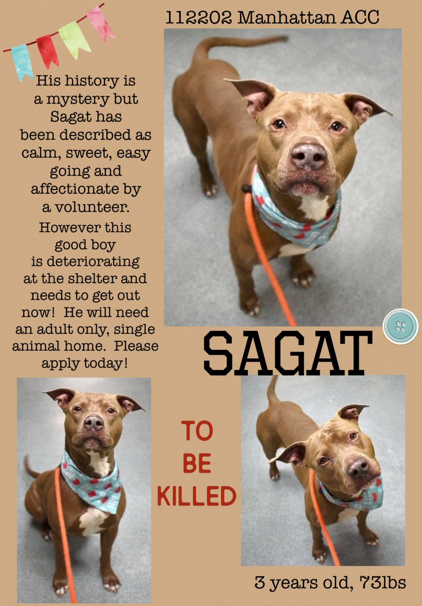 ⏰☎️🆘SAGAT IS TO BE KILLED.  Rescues cannot help them without a qualified foster.  Please share so we can pull these dogs to safety.  PLEASE APPLY     #pledge #adopt #rescue #foster #dogsoftwitter #nyc #rescuedog
