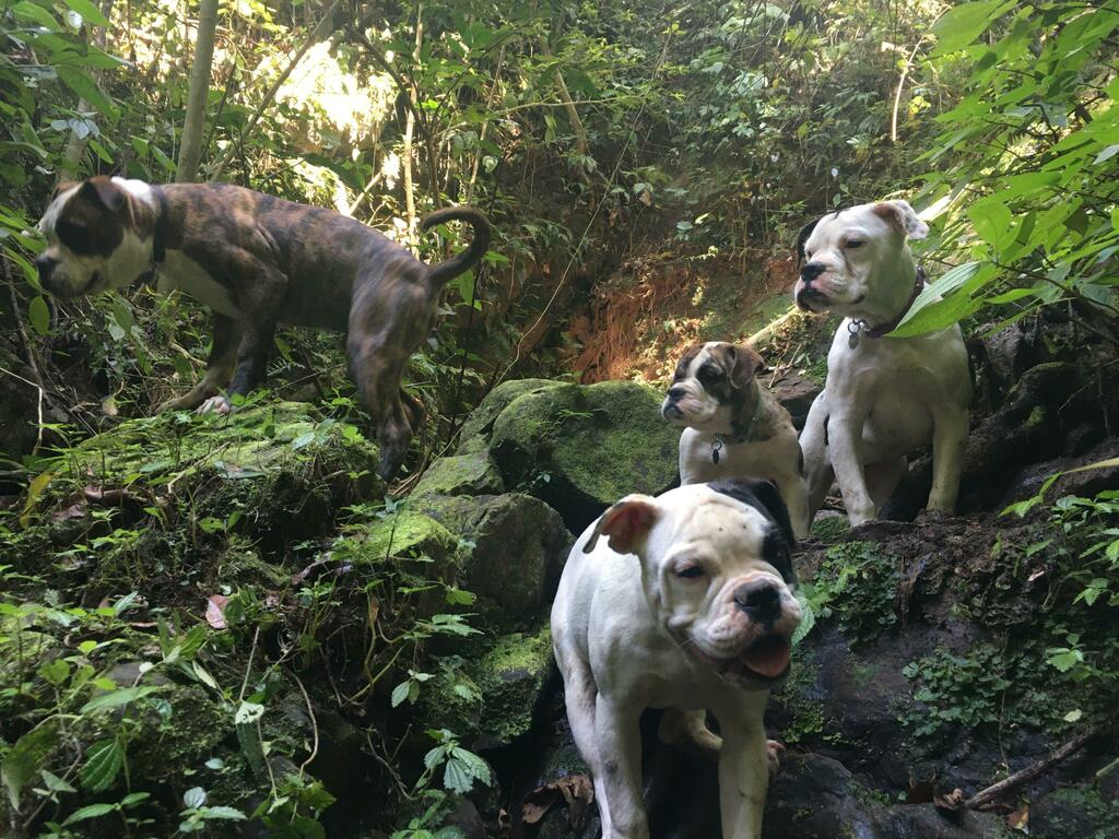 Queens and King of the hills #bulldog #englishbulldog #bulldogpuppies #dog