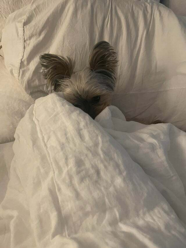Mossy is ready for bed. #yorkies #dogsoftwitter #cute