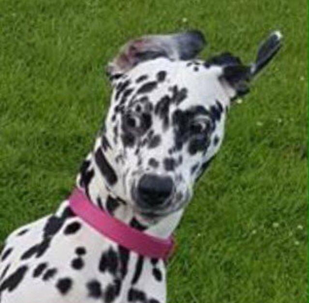 #MyPetInFourWords  Definitely Black and White   @HashNight 💕 🐾🐾🤍🖤 #Dalmatian #DogsOfTwitter #DogsOfScotland 🏴 #Dalmatians