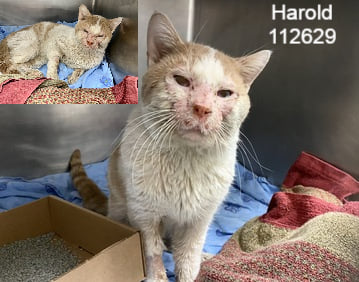 """Orange tabby & white boy kitty """"Harold"""" at NYC ACC in #NewYork has a lot of issues besides the chemical burns on his face! *See below. But, he's a cuddler, vocal & active & surely does deserves saving, vet care & a home! Pledge for rescue! Share! URGENT!"""