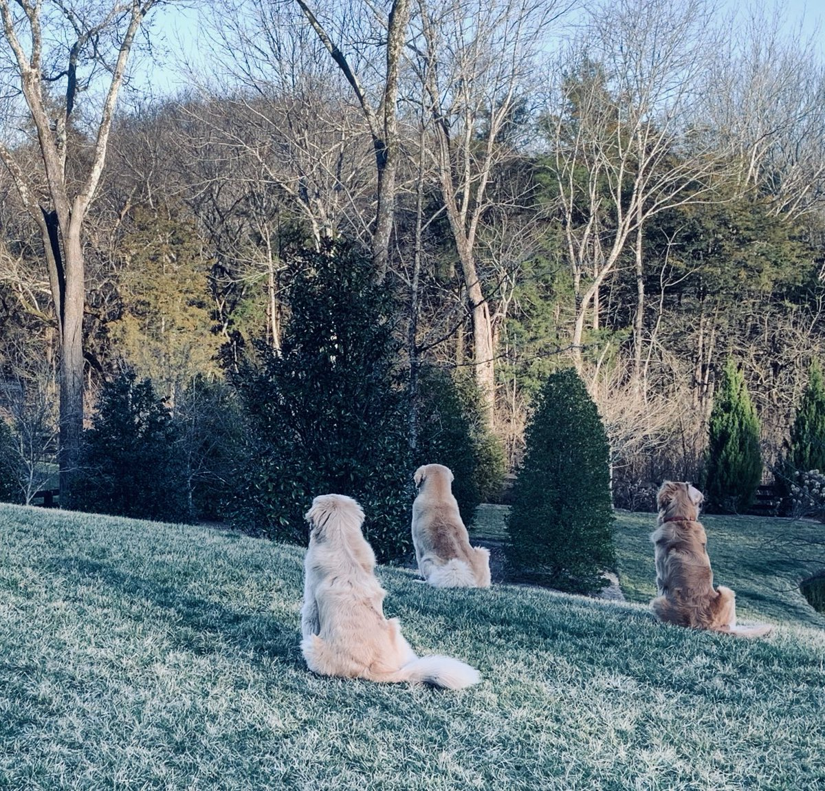 """Could t resist. A guy and his dog innocently walked by our front yard. All 3 boys Alert and at attention!! """"Mufasa"""" Big Ben out front!!"""