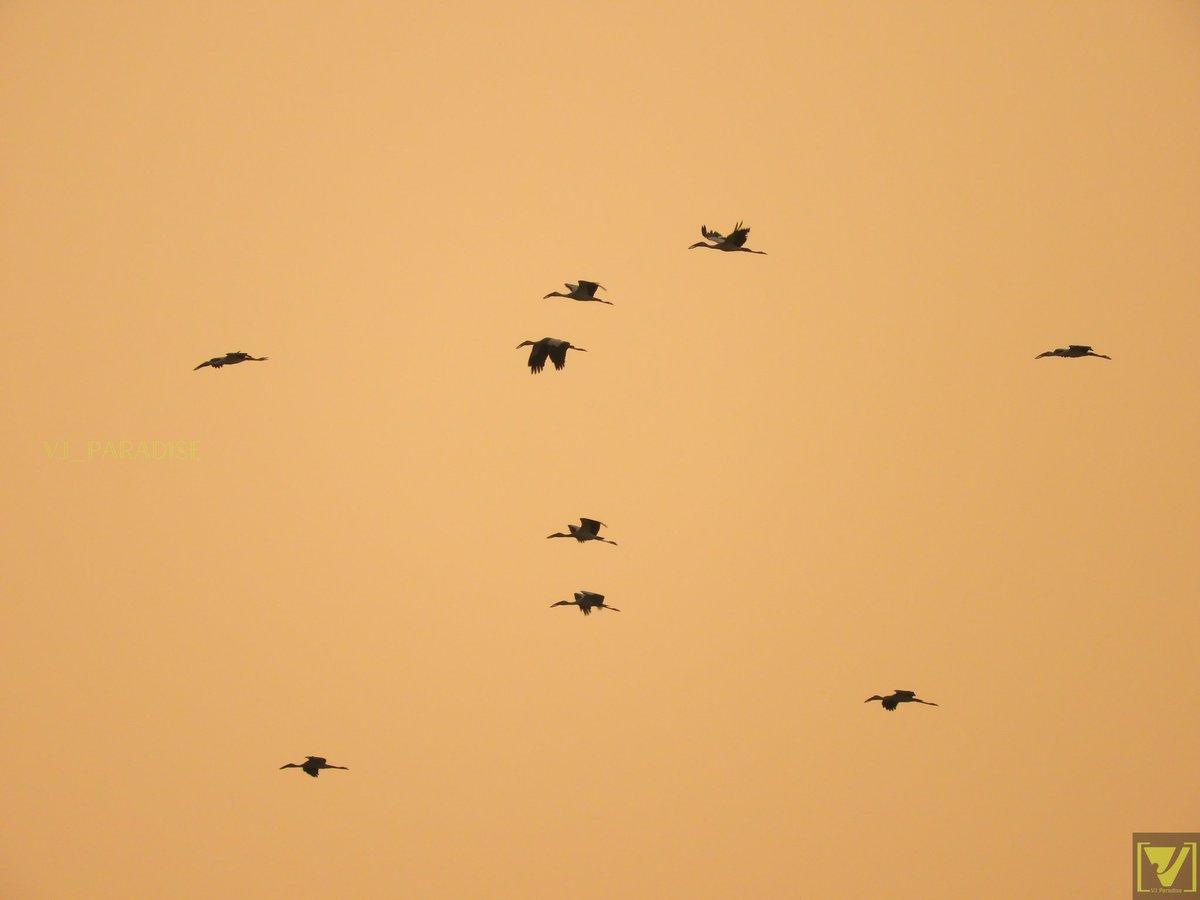 Painted storks returning home   #nature #photography#naturelovers #bird#birdwatching#NaturePhotography #india #tamilnadu #chennai #tamil #sky #beach #sunset   @kalyanasundarsv @praddy06 @RainStorm_TN @ChennaiRains @chennaiweather @AmaziNatural @TravelCuddly @saransaranya03