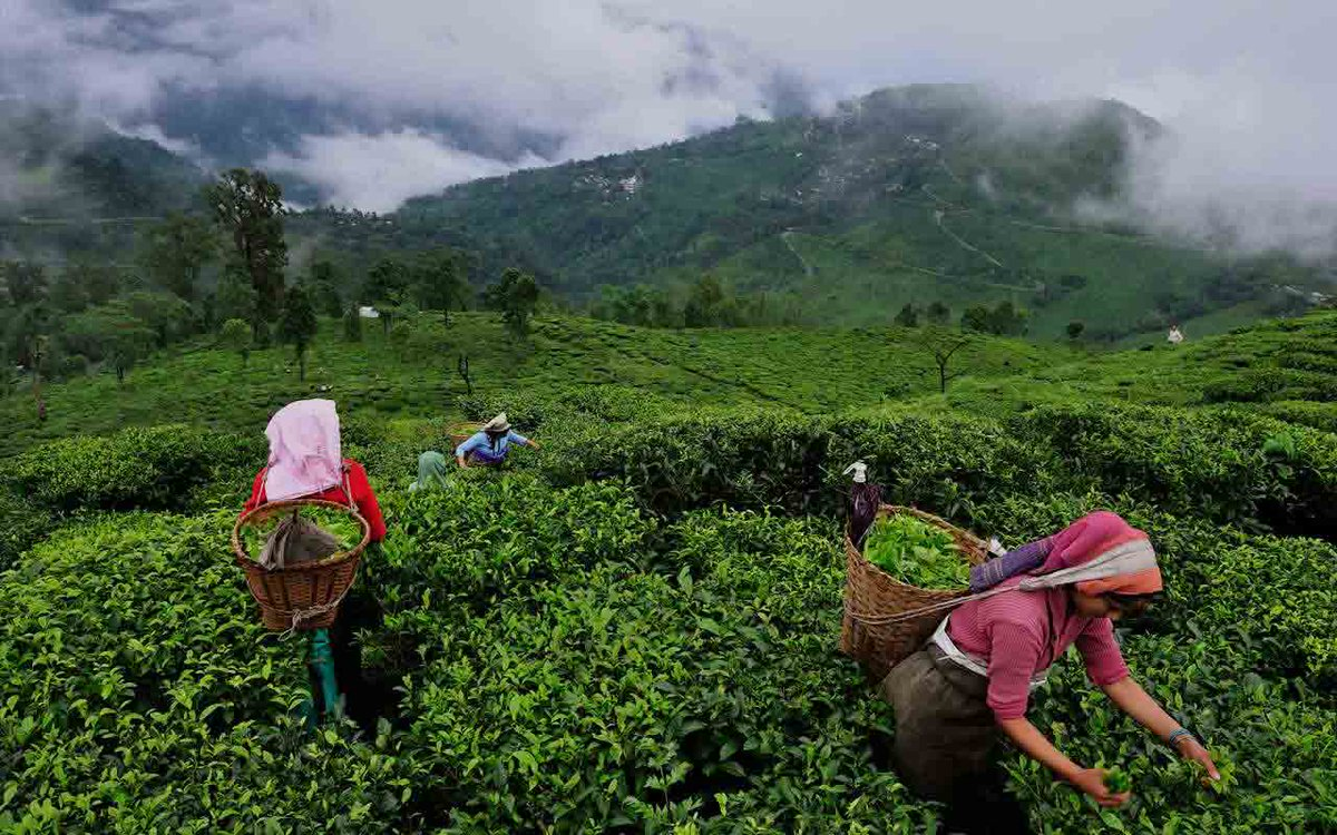 The Tea of Assam: Its Heritage, Uniqueness and Challenges of the Industry  See:   #isrgrajan #FridayMotivation #Assam #Historyoftea #IndianTourism #Potentialofteaindustry #Tea