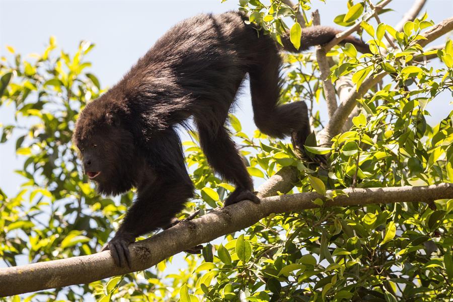 Simios de un zoológico de California, primeros animales en recibir vacuna anticovid #ImpactoLatino #Simios #Covid19 #California #Vacuna