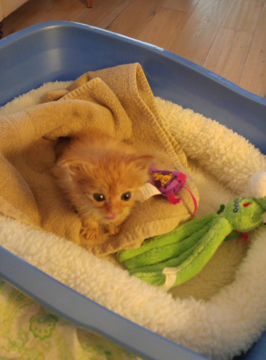 """Sunny, #FlashbackFriday brings back memories of my youth. These photos were taken on the day mum adopted me. I was four weeks and six days old. I weighed .60 lbs."""" #cutestkittenever  #Cats #CatsOfTwitter #CatsOnTwitter #catlife"""