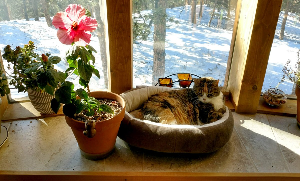 Dreaming of summer. Snow is okay as long as there are sunbeams, but tired of the wind! Mom has managed to winter this hibiscus to help me through winter.  #cats #CatsOfTwitter #catlover #dreaming #FlowersOnFriday #iswinteroveryet #flowers