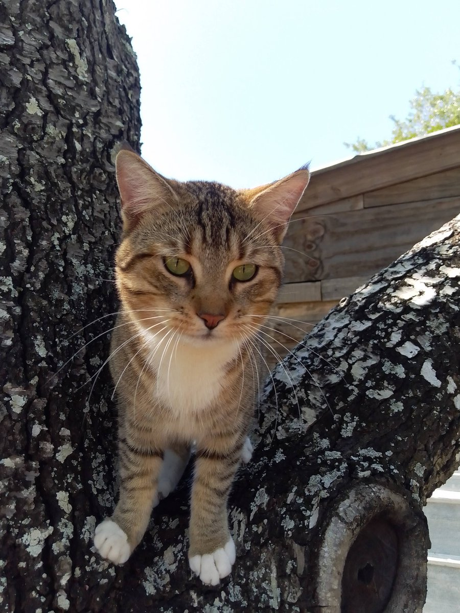@zens_place Our Jace chilling in the tree. #CatsOfTwitter