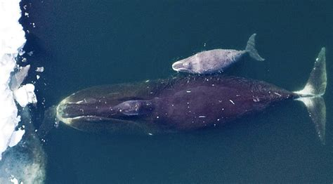 Bowhead #whales can live up to 200 years.  A calf born today could live until 2221.  What will their home, the #ocean, look like by then?  #ClimateAction #climate #ClimateEmergency