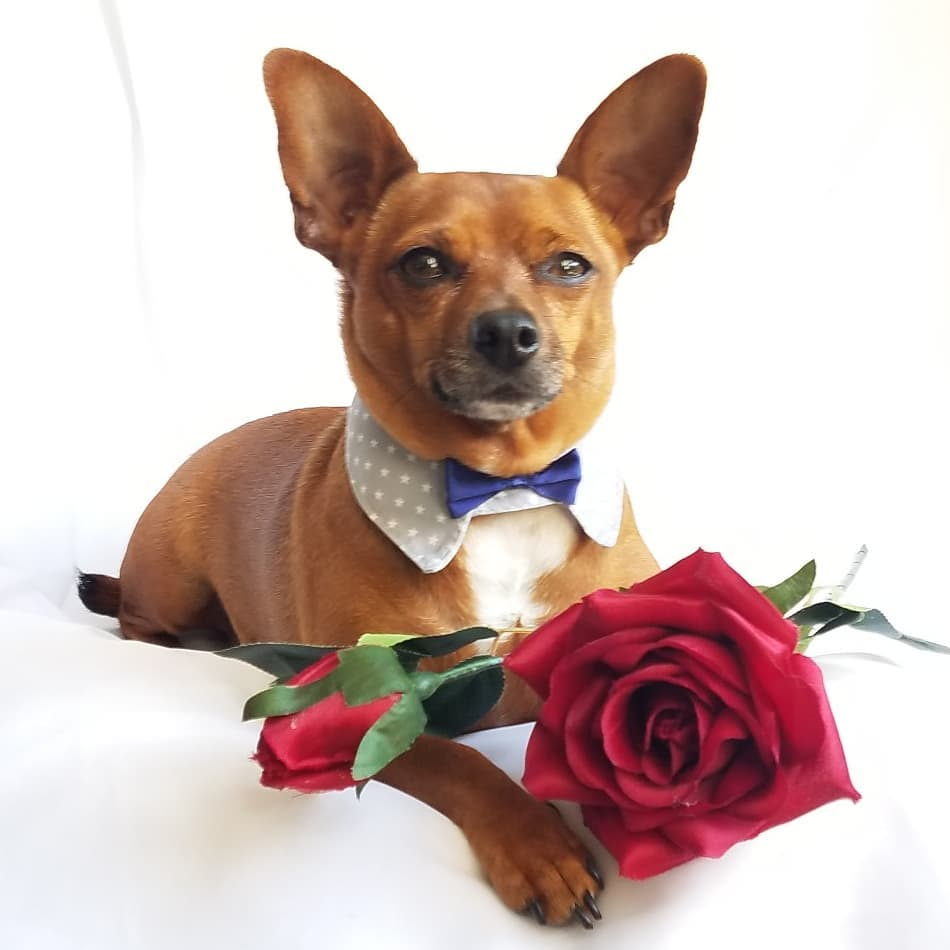 Want a fun, relaxing distraction?  Follow #catchingupwithcosmo on Instagram and watch this adorable #chihuahua go #paddleboarding, bird watching, and play dress-up in costumes!  In February, he's looking for love, #BachelorABC style!    #dogs