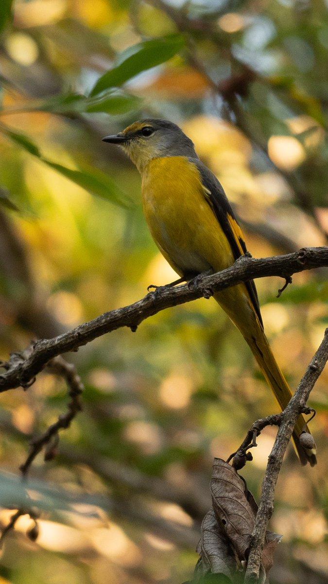 The Long-tailed Minivet female has less yellow on its head than the Short-billed and Scarlet Minivets. This shot is from #Uttarakhand. #TwitterNatureCommunity #BirdsSeenIn2021 @ThePhotoHour @Avibase @ParveenKaswan @vivek4wild #birds #birding @Team4Nature @Saket_Badola @pargaien
