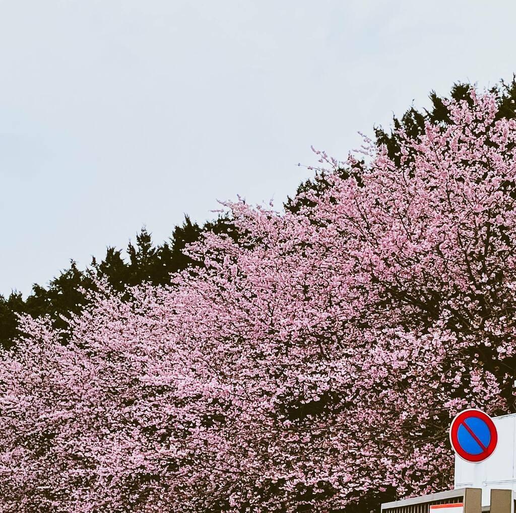 おこんにちワン( ๑´ ࿀`๑)  今週もブヒ娘さんは半日入院🏥 我が家ではデーサービスと呼んでるw  寂しいけど、いない間に ブヒ娘さんのソファとか毛布とか 洗って干して、お掃除しましょ😅  #春 #Spring #flowers #instagood #japan #instalove #beautiful #iPhone