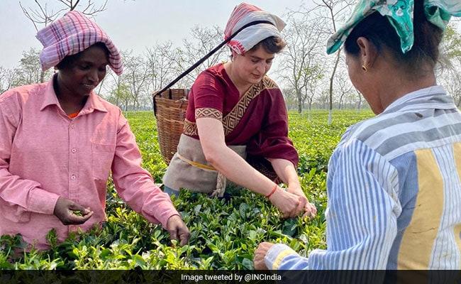 Film Shoot: Minister On Priyanka Gandhi Plucking Tea Leaves In Assam ndtv.com/india-news/fil…