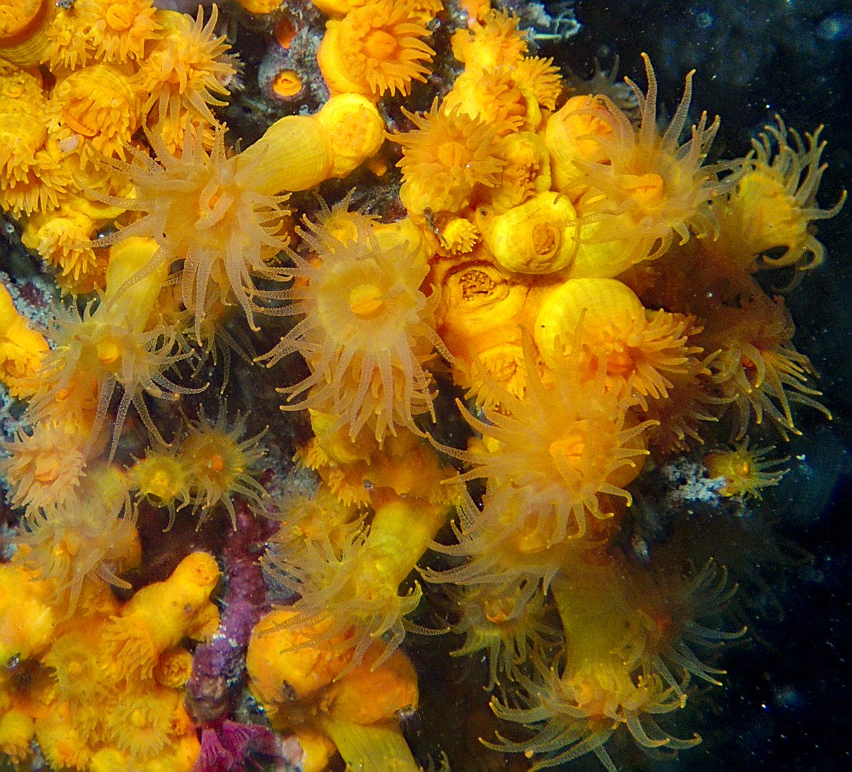 Astroides calycularis.  #photography #photo #photos #pics #picture #photographer #pictures #snapshot #art #beautiful #instagood #picoftheday #photooftheday #composition #focus #capture #moment #photoshoot #photodaily #photogram #buceo #diving #scuba #scubadiving #submarinismo