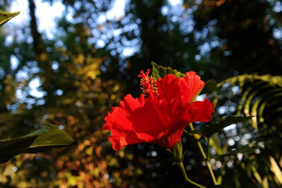 #Photo by #Mirakali Red Hibiscus @choochad95 @BetweenTheSun @lebalzin @KeiraNightly2 @MarcDamian4 @yzcyzf @IamWill_WhoIam @ejlazar #photography #photographer #Mirapuri #NaturePhotography #flower #hibiscus #flowerpic #fineart #nature #earth #naturephoto