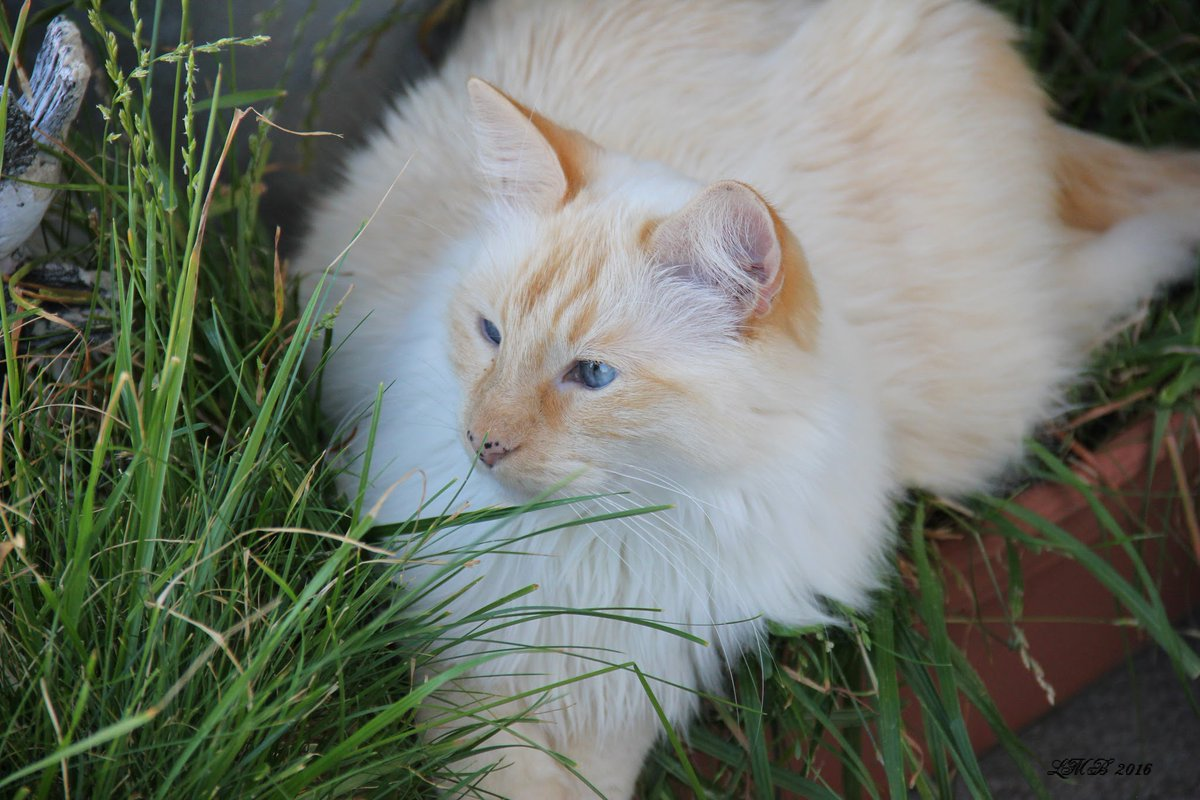 Good morning it's #caturday so I can post one of Dewey's pics back when he didn't mind cameras. Now a days if he could give me the toe bean 4 pointing a camera at him he would so I shall not show him how. 🙄 #CatsOfTwitter #catlovers #catsandgrass 🐈