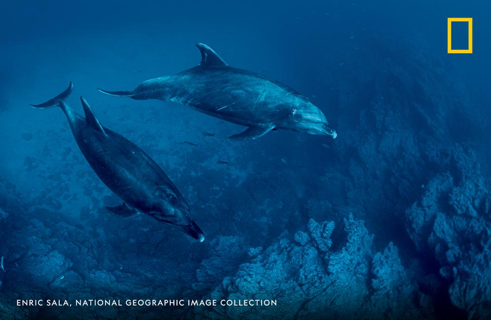 Bottlenose dolphins swim in Revillagigedo National Park, the largest fully protected marine reserve in North America