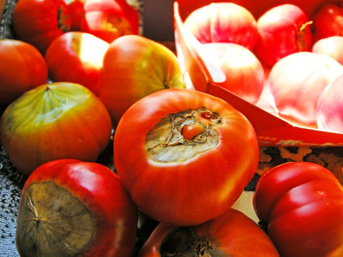 意外にこれ知られてないんですけど…トマトは尻腐れ果が甘い!