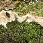パグ犬をパノラマ撮影しようとしたら…撮れた写真がこちらw