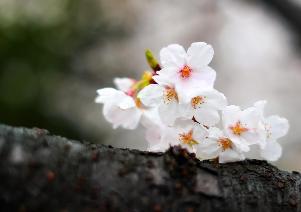 Entramos na estação das flores de cerejeira em Wuhan, que foi cidade mais grave de Covid na China, a Universidade de Wuhan, local mais famoso para  aproveitar as flores, abriu uma passe especial para a equipa médica que lutou contra a pandemia. #Wuhan #COVID19 #cherryblossom