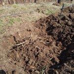 Image for the Tweet beginning: \ホップ栽培スタート/  毎年恒例の「株びらき(株ごしらえ)」からスタート。土中の株を掘り起こして、細かい脇芽を取り除いています。たい肥や肥料を撒いて、元通りにふんわり土をかぶせたら完成!  今年も一緒に成長を見守ってください😆❕  #フレッシュホップ #フレッシュホップフェスト #FHF