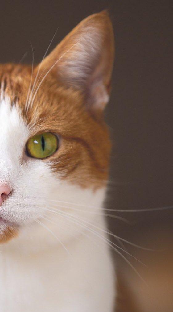 愛猫ちゃんの目は何色ですか?意外と知られていない猫の目の色について!