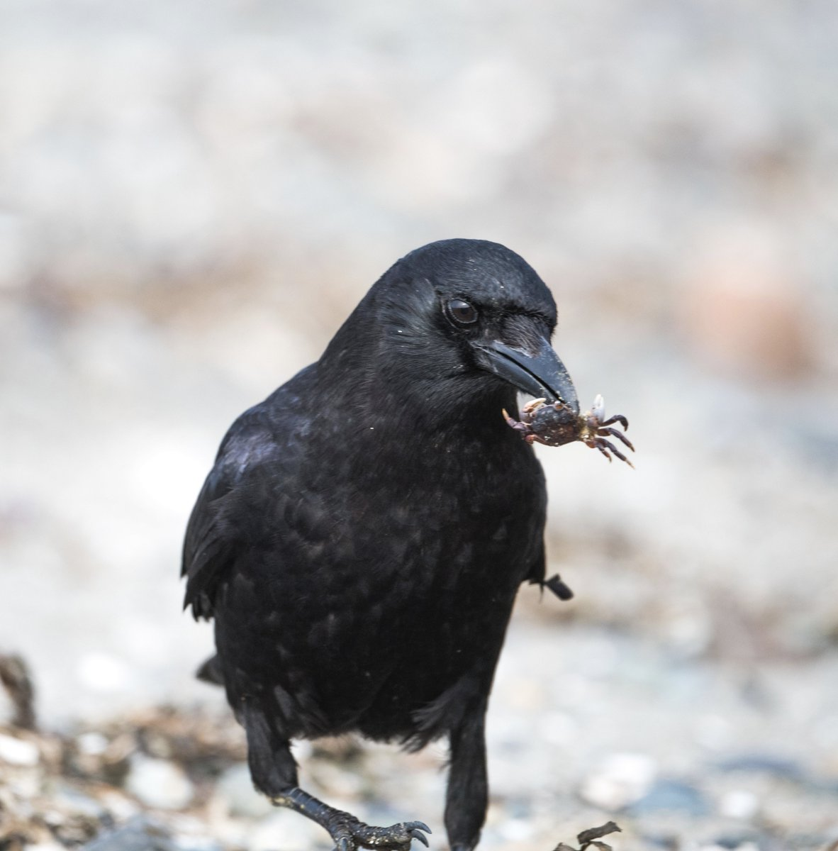 Crow Twitter Search