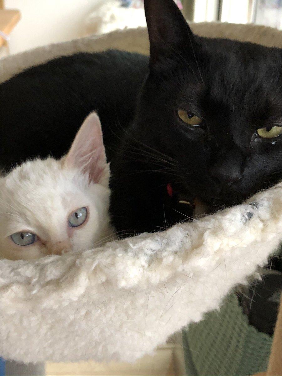 リモートになったので猫をお迎えしたのに出社しろを覆す…上司の意外な条件が素敵!