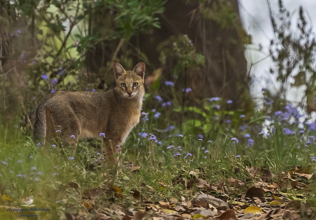 Thank you @passivelyactive for sharing this ''one in a million'' snap of jungle cat all the way from Jim Corbett National Park situated in Uttarakhand! @UTDBofficial   #DekhoApnaDesh