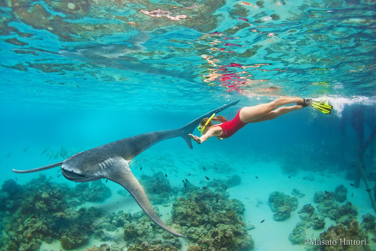 海でイーグルシャークに出会ったらこんな感じですかね。どことなく愛嬌のあるカッコかわいい姿です。#イーグルシャーク #ダイビング #Aquilolamnamilarcae #diving https://t.co/cewpjAPEZV