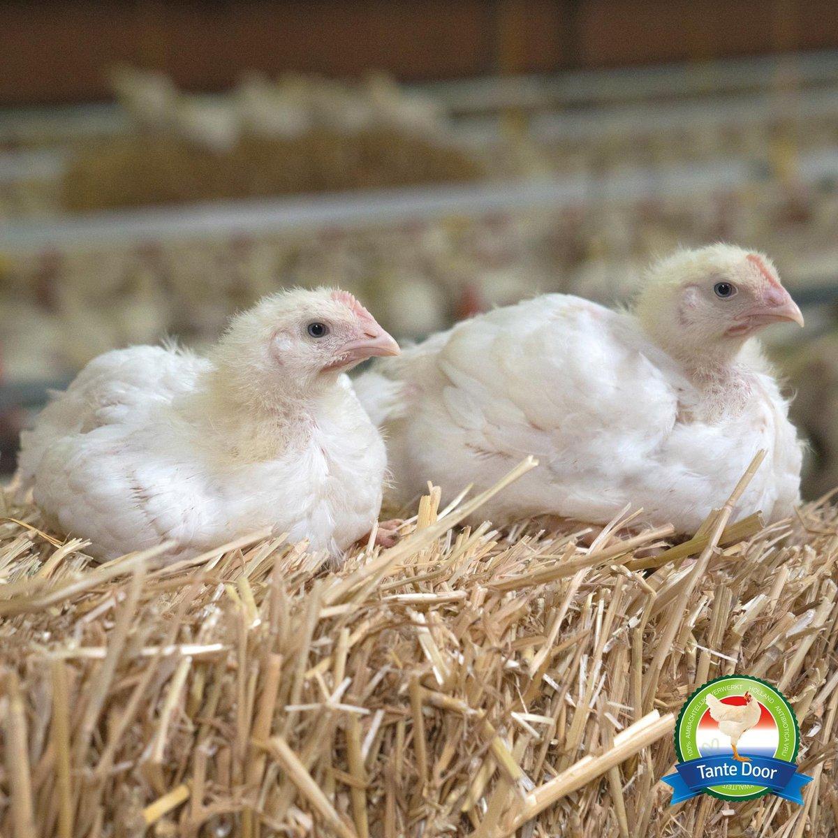 Fijne maandag! Wist je dat er strobalen in de stallen liggen? Hier kunnen de Tante Door kippen op zitten, in pikken en uit elkaar trekken. Ze gebruiken het echt als speelmateriaal. #tantedoor #strobalen