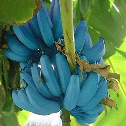 How come nobody ever told me to plant Blue Java Bananas? Incredible they taste just like ice cream https://t.co/Aa3zavIU8i