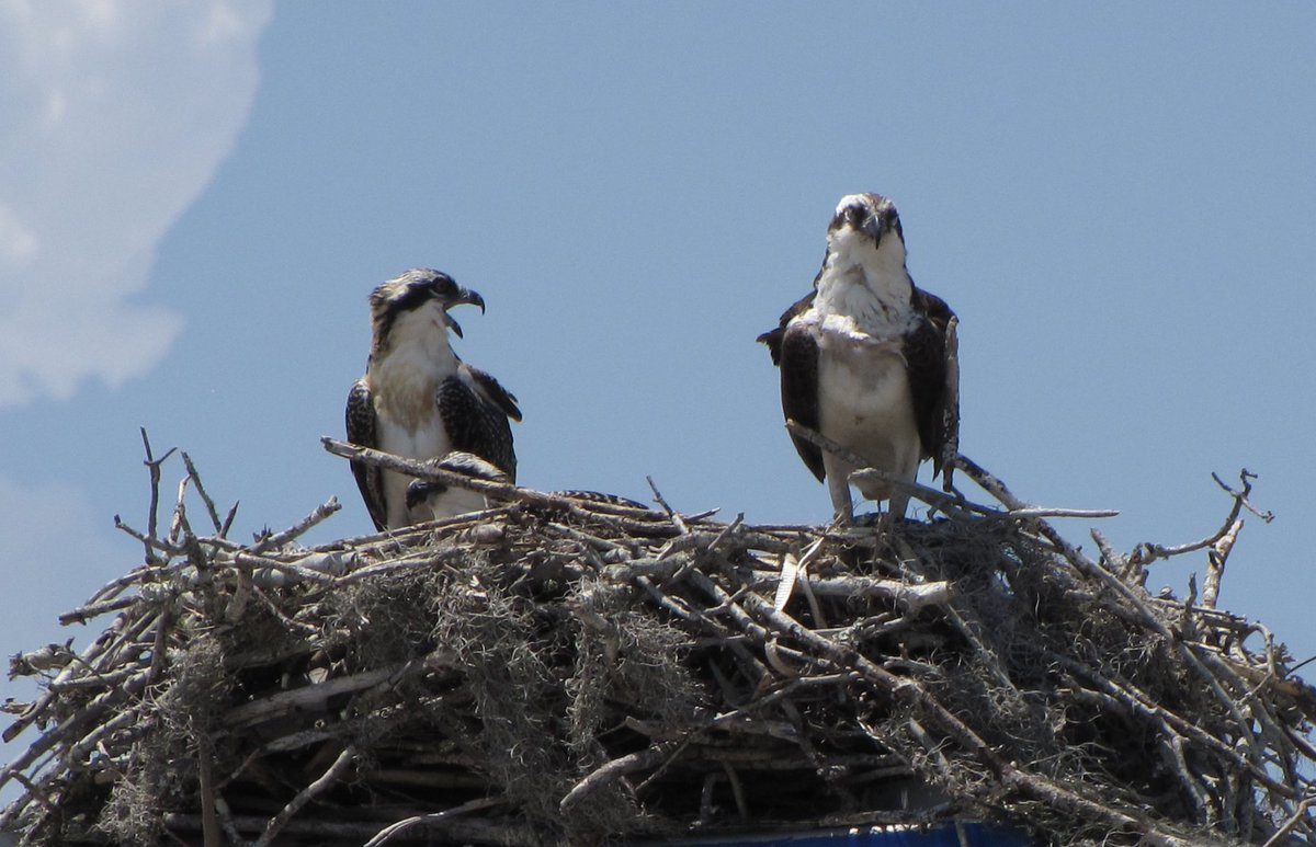 Hi #BirdTwitter : Anyone know what these beauties might be? I am cleaning up old files and found them in a pile of pics I took in Cape Canaveral, Florida, in 2011. Any insight is appreciated! https://t.co/dmXnYNsxsb