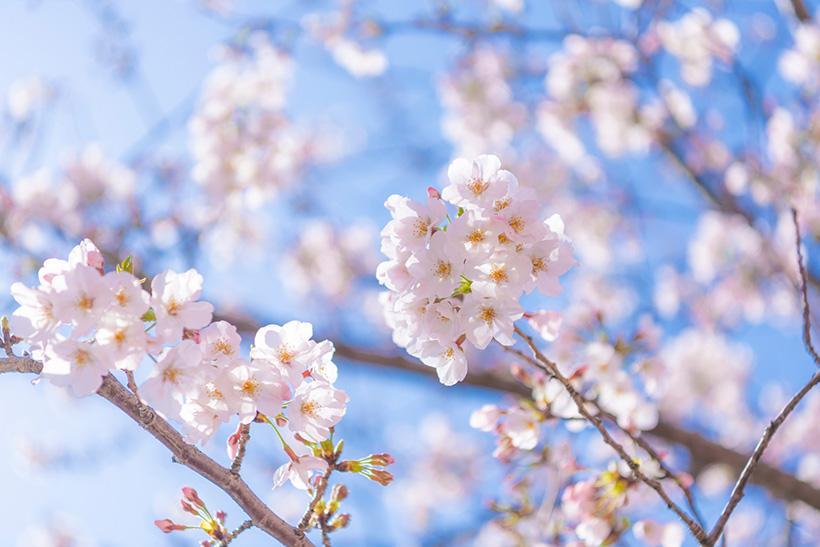 東京ディズニーランドで桜を楽しめる!ホームストア近くで咲くソメイヨシノがきれいと話題!