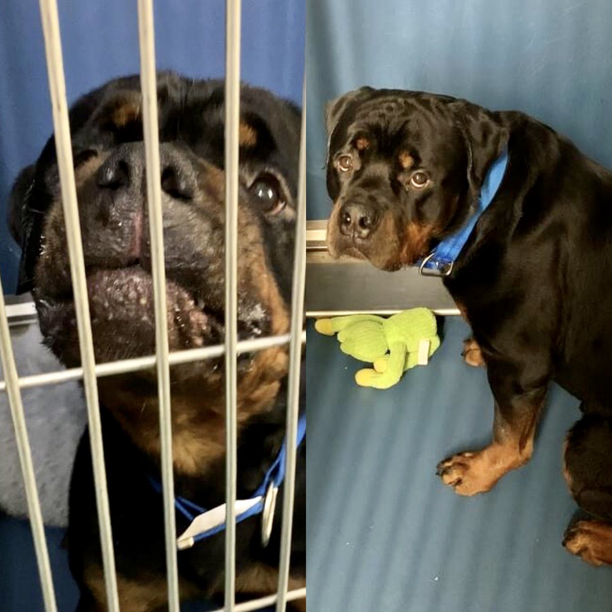 IN JUST 10 DAYS 'PUPPY' #113625 LOST HIS FAMILY. NOW HE COULD LOSE HIS LIFE TUESDAY. His human died; the relatives couldn't be bothered. They left this 1-year old @nycacc where they're rushing to kill him. Pledges via @TomJumboGrumbo and PLEASE RT PUPPY! https://t.co/WtwtuOu9G3 https://t.co/yRJ4Dz7Pbk