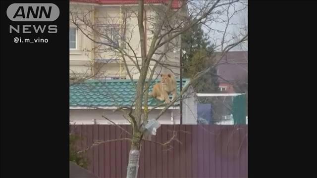 test ツイッターメディア -【恐怖】住宅街の屋根の上にライオン出現、周辺の住民はパニックに ロシアhttps://t.co/CF6KJFeE1E地元メディアによると、このライオンは2年前からこの住宅の敷地で飼育されており、飼い主は「逃走したわけではないので、心配する意味が分からない」と話している。 https://t.co/Vq7sfpK7GR