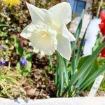 Image for the Tweet beginning: 18:30より三公記念館にて夕拝となっております。 今日は雨ですが、花達が綺麗に咲き誇ってます。駐車場奥には枝垂れ桜が少しずつ咲き始めました。 写真は天気が良い日に撮ったものです。 目立った行事はありませんが、また是非ご来館下さい╰(*´︶`*)╯  #さくら #三公記念館